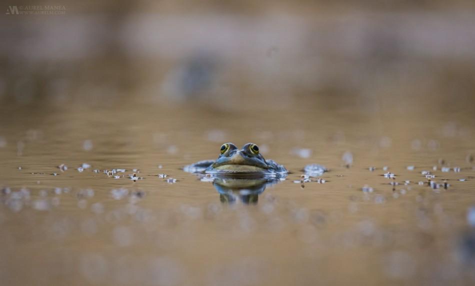 Pag-Croatia-Frog
