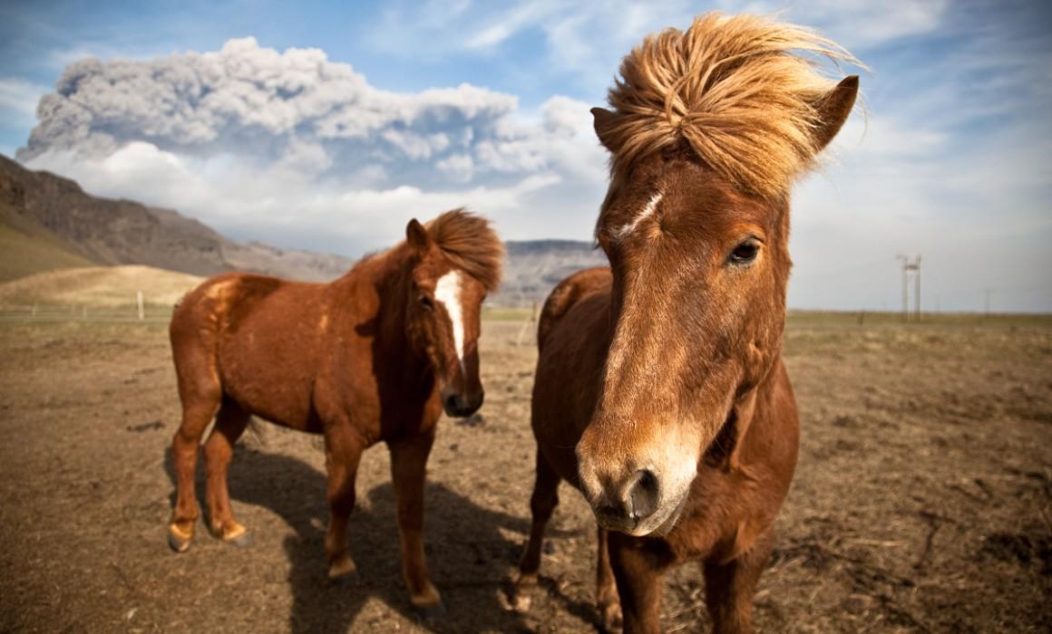 awesome icelandic horses
