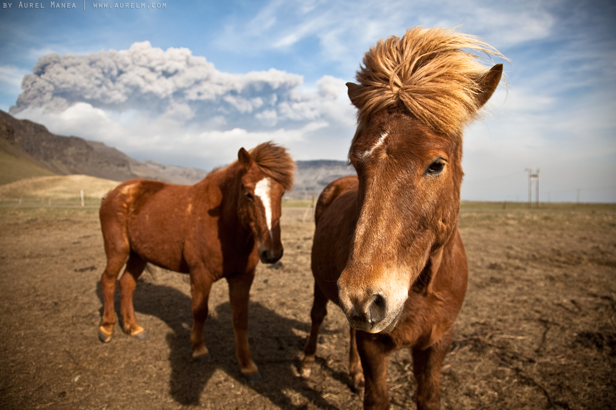 awesome icelandic horses