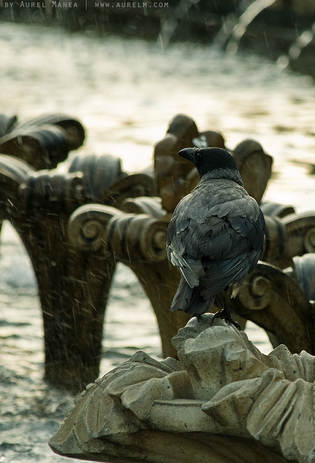 crow-on-fountain