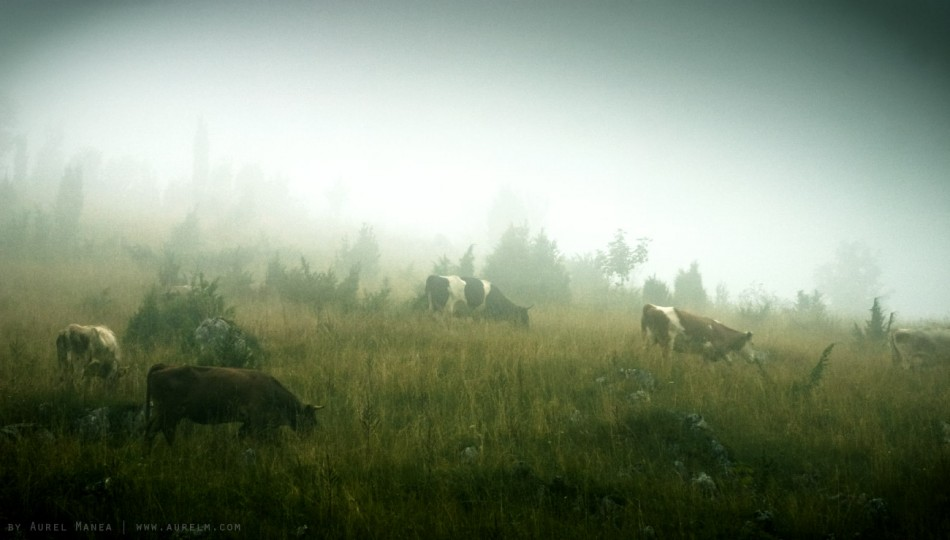 fog-and-cows-01