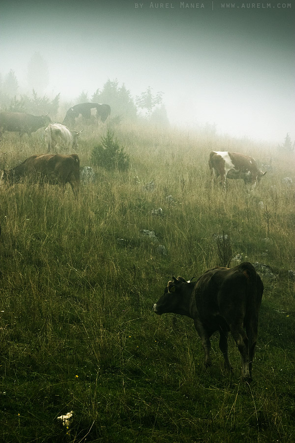 fog-and-cows-02