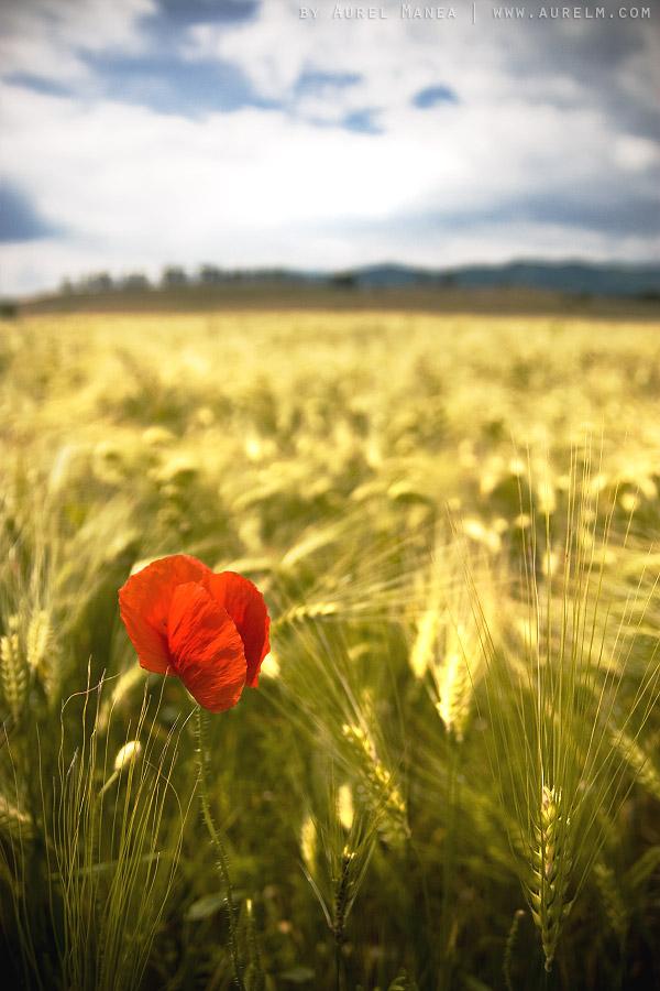 lonely-poppy-02