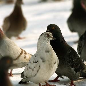 pigeons-inTineretului-park-01