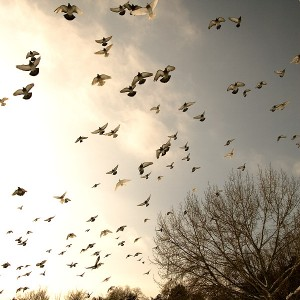 pigeons-inTineretului-park