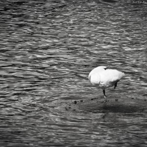 prague-bird-on-water