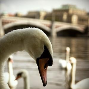 prague-swan-01