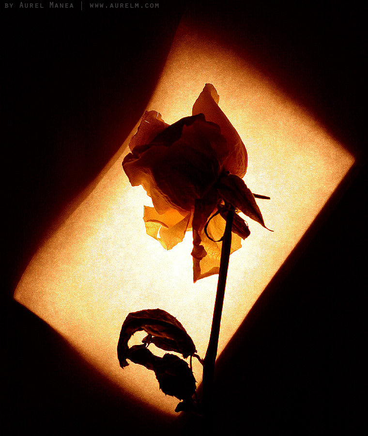 rose-in-contre-jour-01